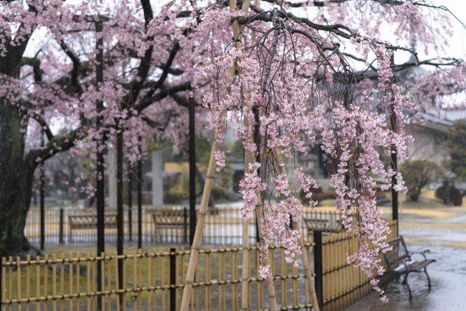 原木山妙行寺のしだれ桜が散り始め