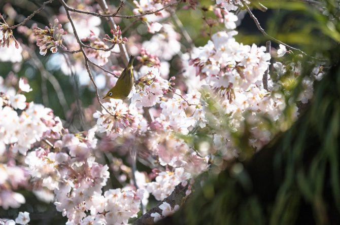 メジロとソメイヨシノ  中山法華経寺にて