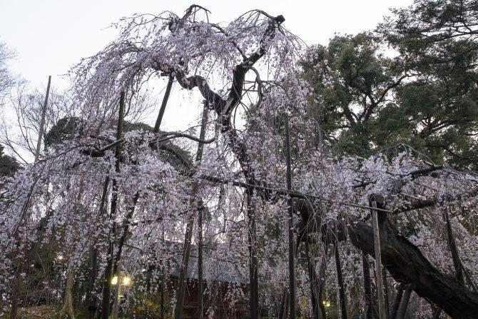 日没後の伏姫桜