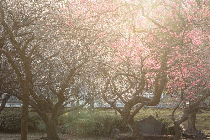 じゅん菜池緑地で梅まつり 2017年3月5日(日)