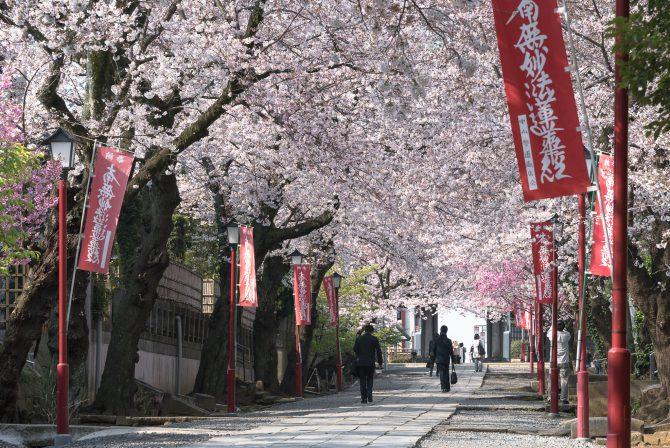 中山法華経寺の参道のソメイヨシノが見ごろに