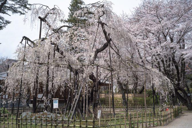 伏姫桜はわずかに葉が目に付くように