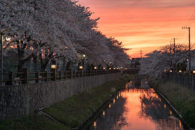 夕焼け空と桜並木