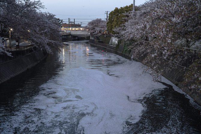 真間川の花筏