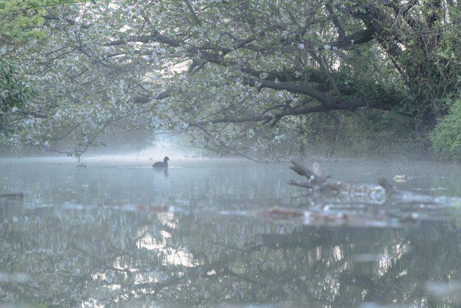 朝もやの川面と桜