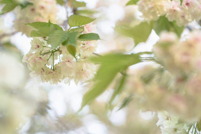 ウコン桜が見ごろに