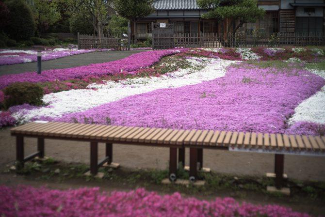 郭沫若記念館の芝桜が見ごろに