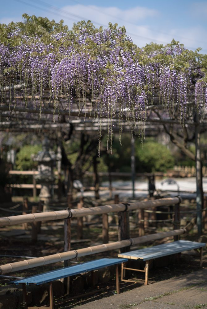 高圓寺の「長寿藤」