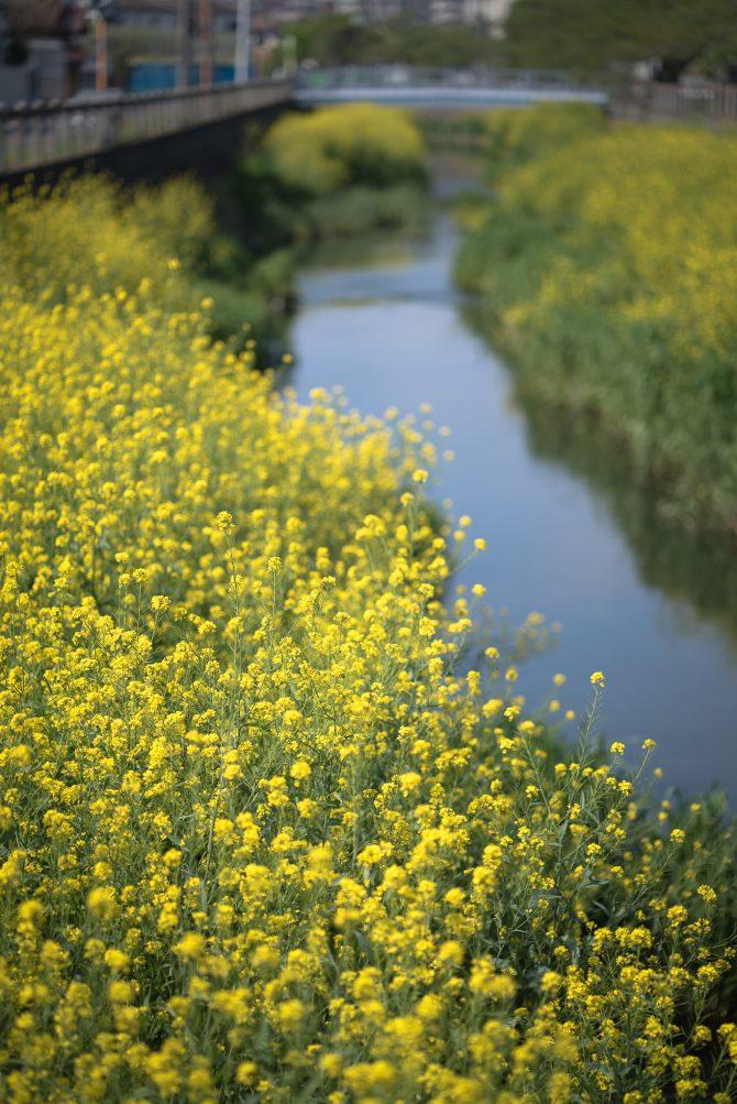 大柏川沿いの菜の花がすでに見ごろに