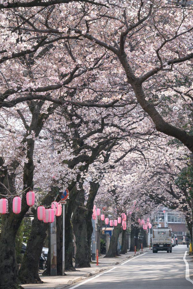 里見公園前の道路の桜並木でソメイヨシノがそろそろ見ごろに