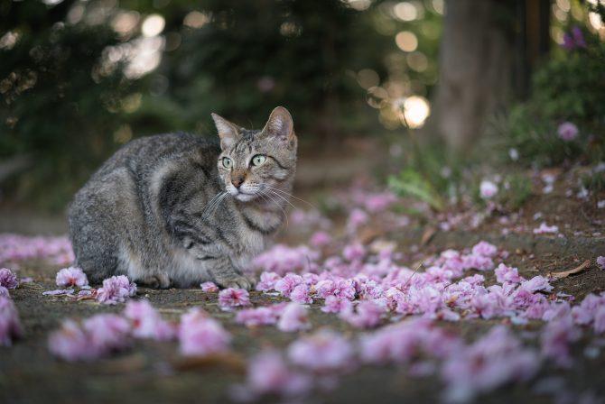 八重桜、散る