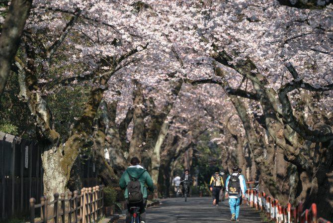 千葉商科大学と市川市スポーツセンターの間の桜並木