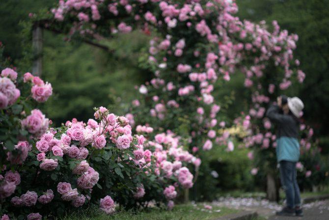 春のバラがそろそろ見ごろに 里見公園にて