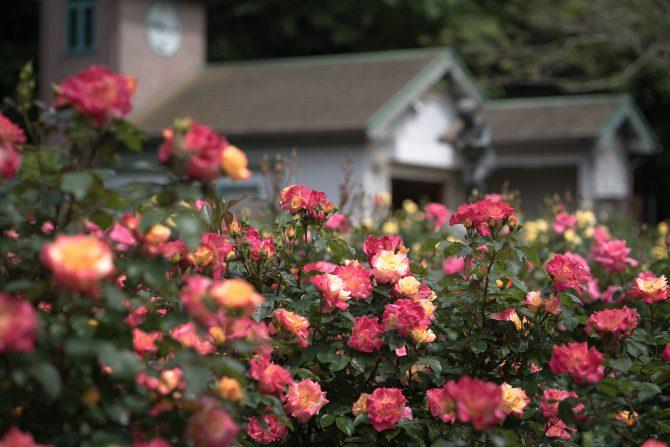 大町自然観察園でももうすぐ春のバラが見ごろに