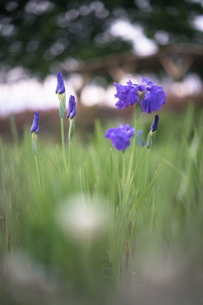 小岩菖蒲園でハナショウブが咲き始め