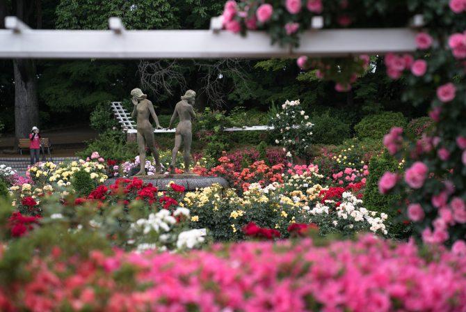 里見公園の春バラの開花状況