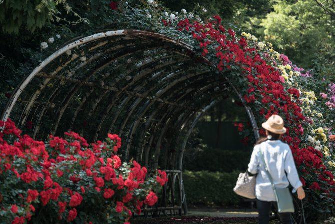 大町自然観察園の春バラの開花状況