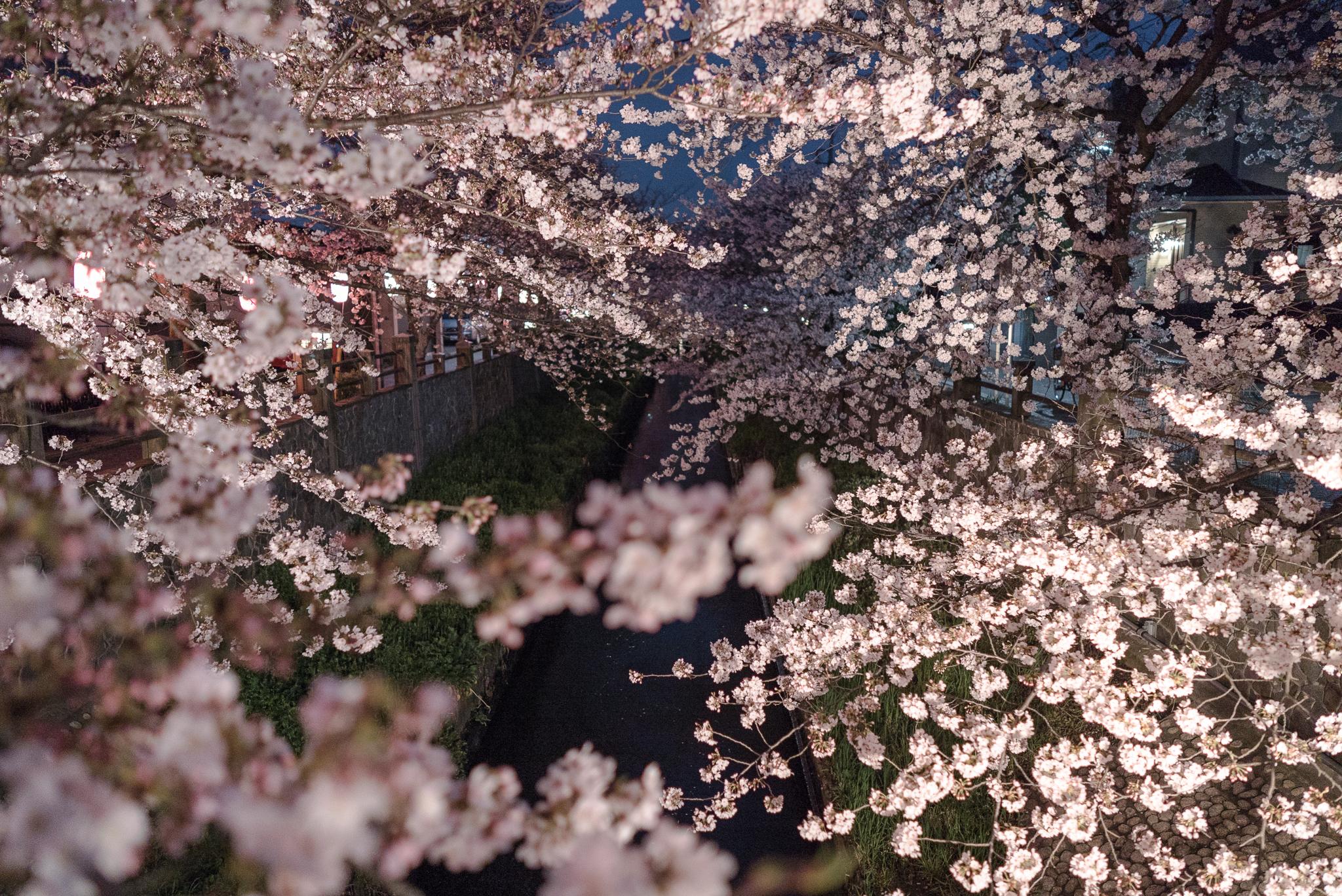 夜桜 真間川にて