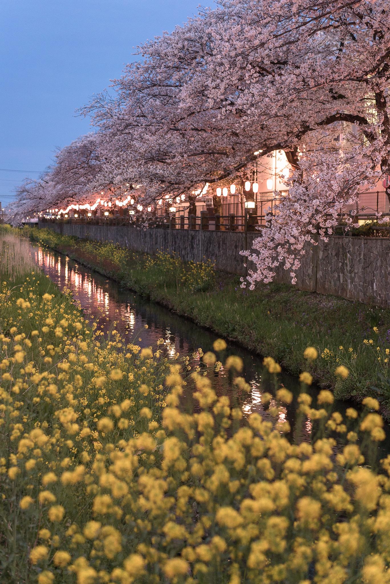 菜の花と桜 真間川にて