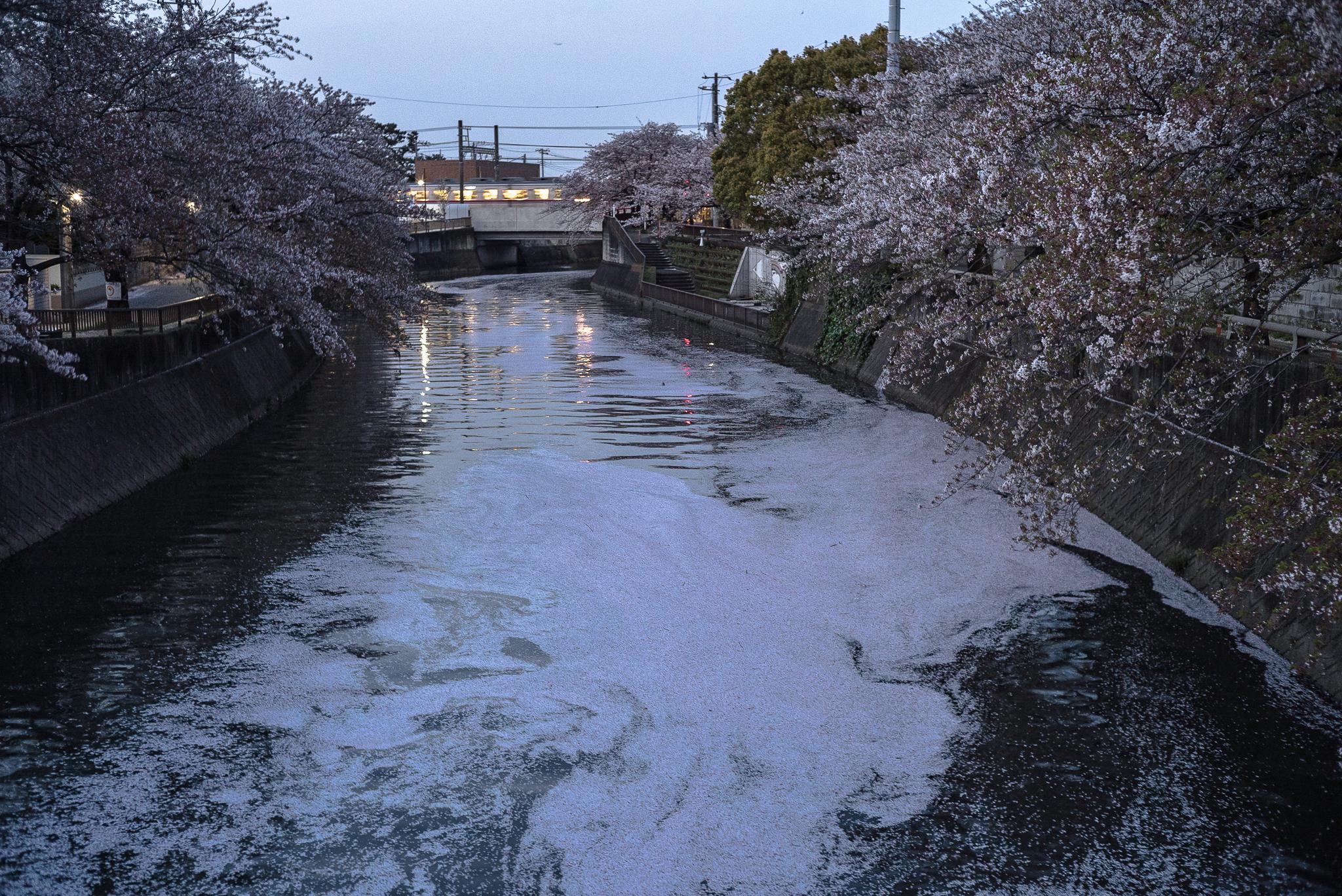 花筏(はないかだ) 真間川にて