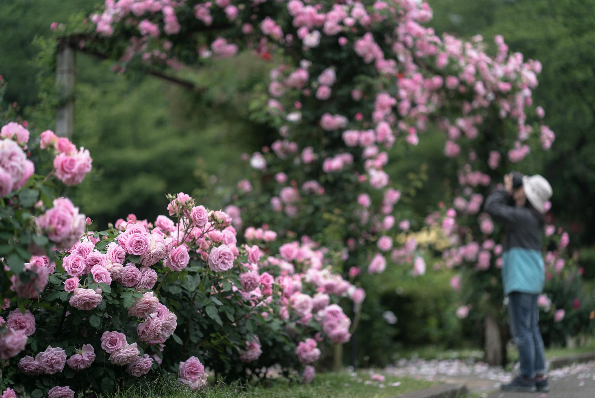 春のバラ 里見公園にて