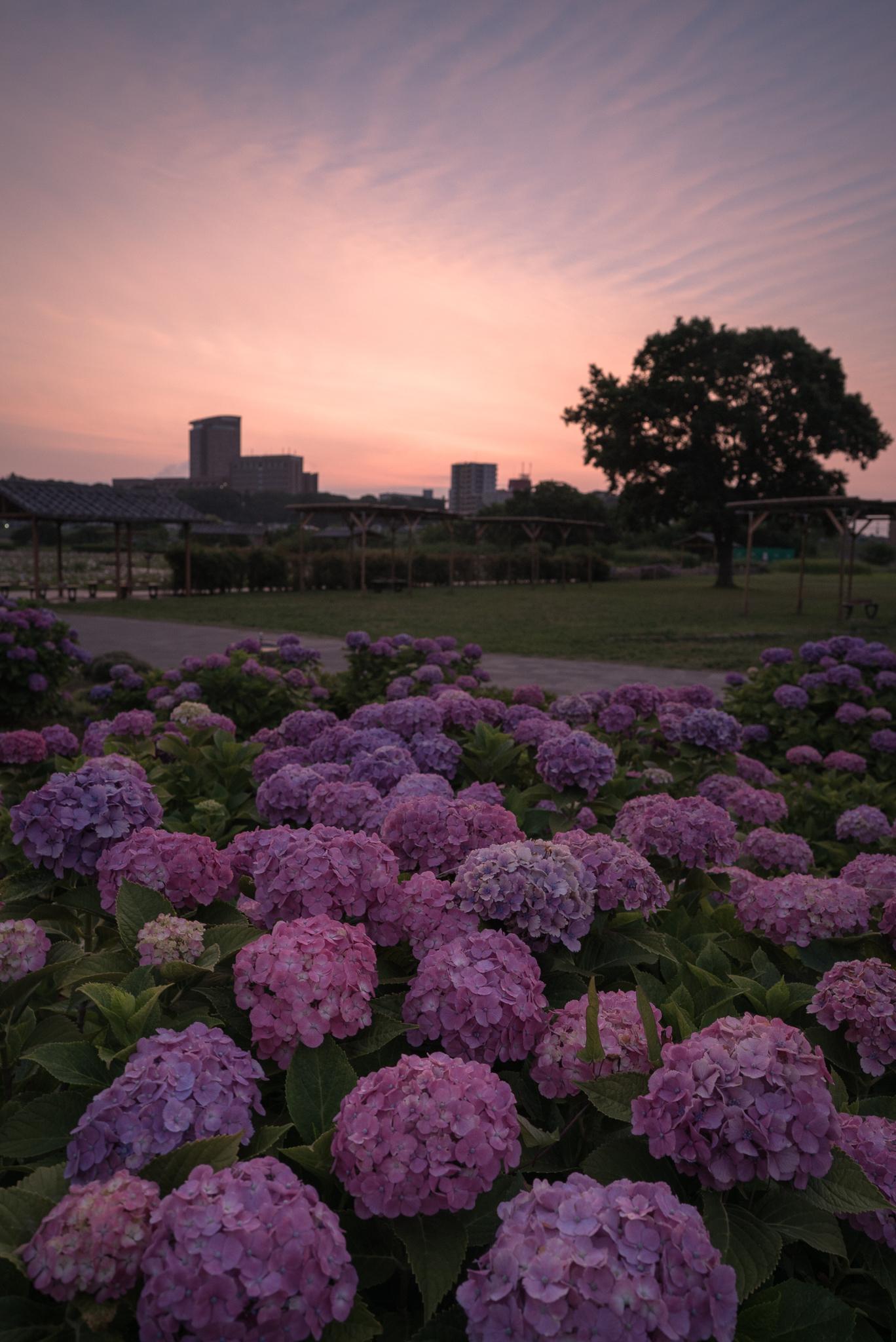 朝焼けと紫陽花 小岩菖蒲園にて