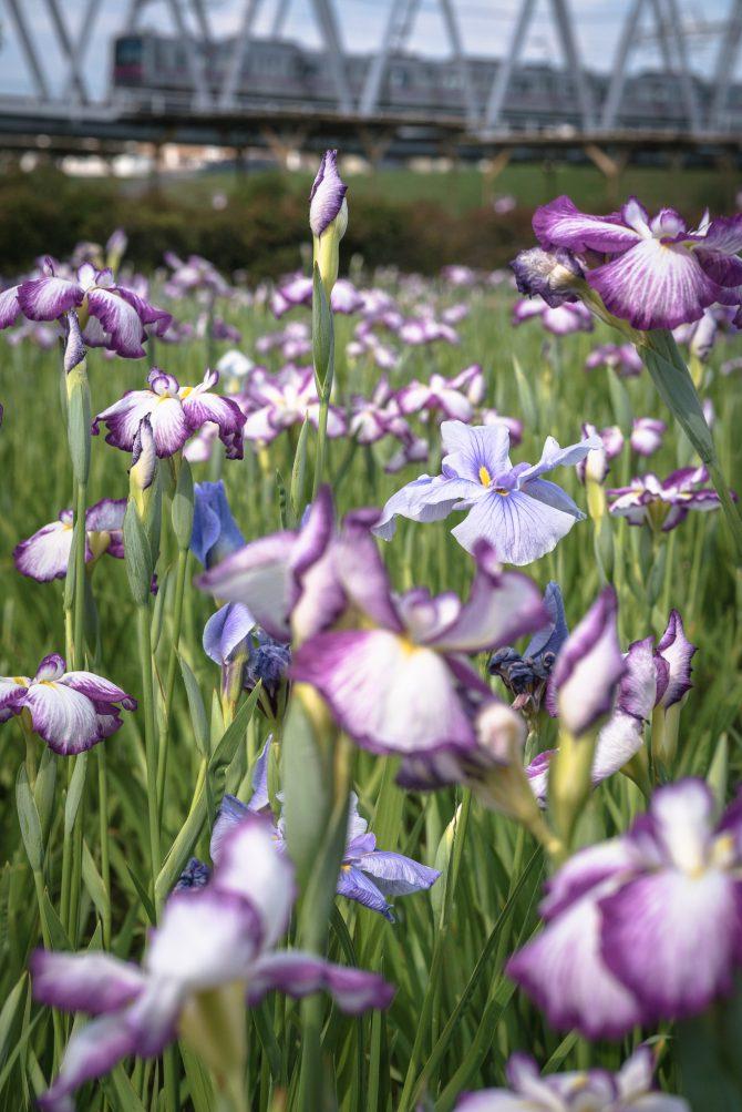 小岩菖蒲園のハナショウブ 3~5分咲きくらい