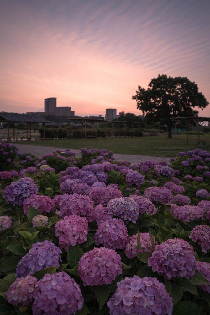朝焼けと紫陽花