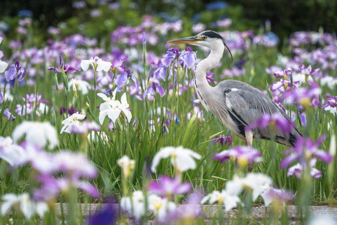 小岩菖蒲園のハナショウブの開花状況