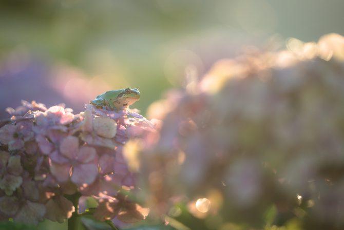 朝陽と紫陽花と雨蛙