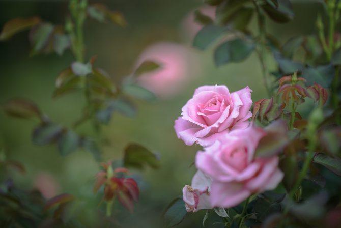 秋のバラが咲き始め