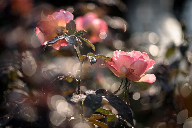 里見公園の秋のバラ