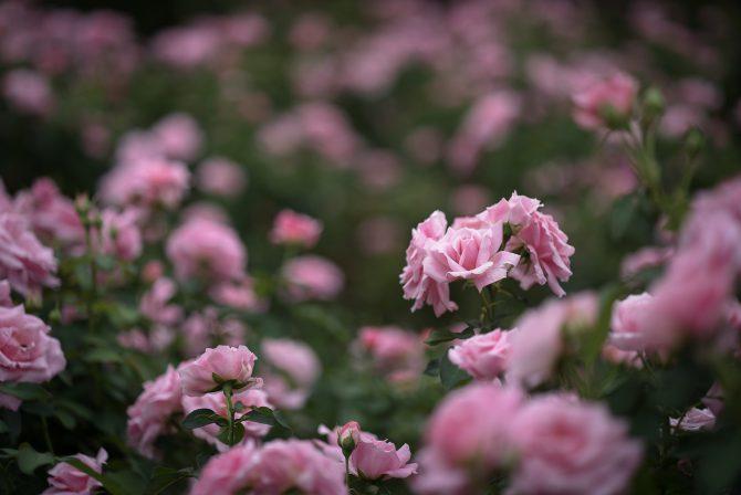 秋のバラ、花が増えてきました