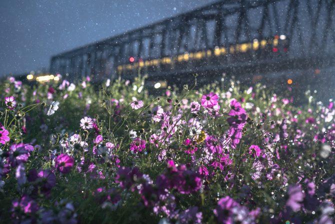 雨のコスモス畑と京成線