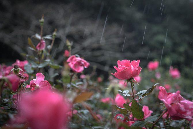 大町自然観察園の秋バラの開花状況