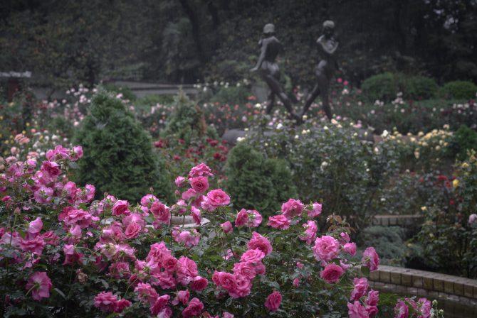 里見公園の秋のバラがそろそろ見ごろに