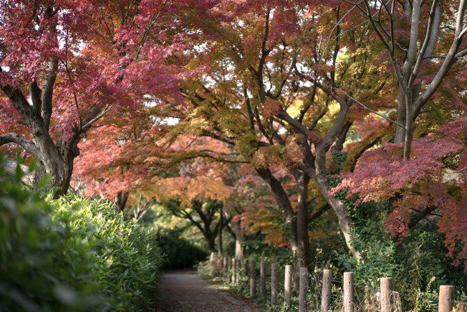 じゅん菜池緑地のモミジの紅葉がそろそろ見ごろに