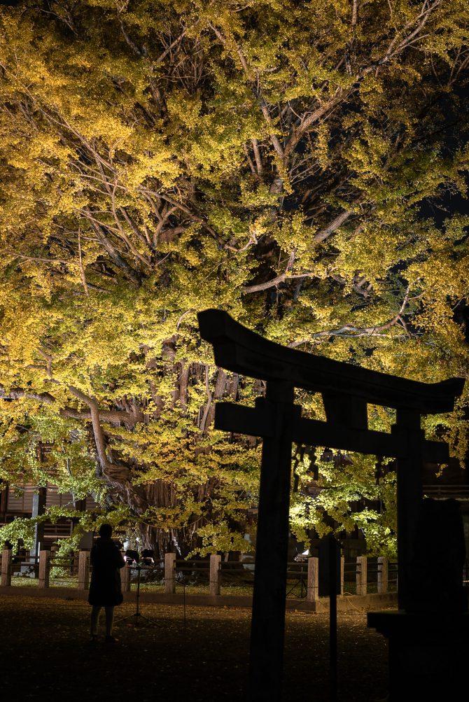 千本公孫樹のライトアップ 葛飾八幡宮にて