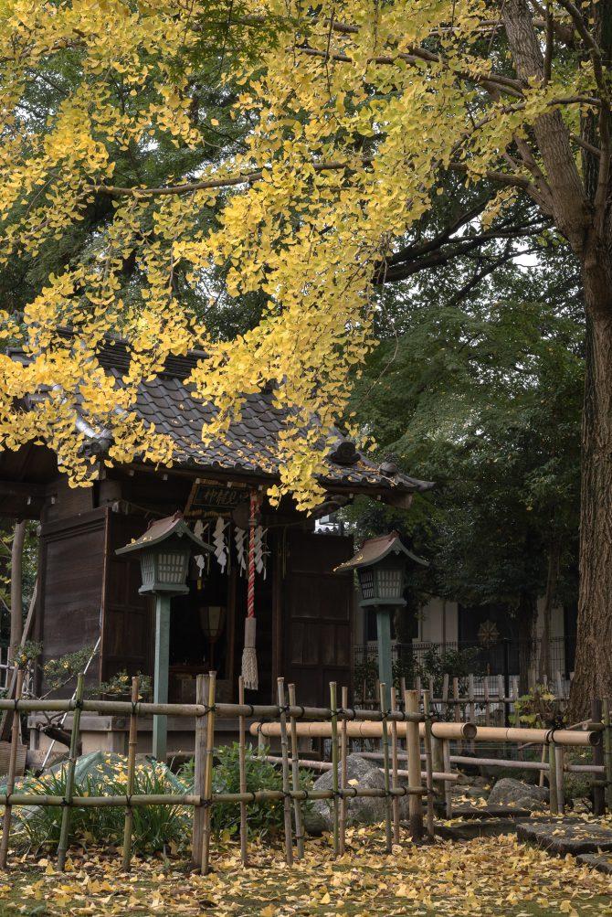 イチョウの黄葉が見ごろに 真間山弘法寺にて