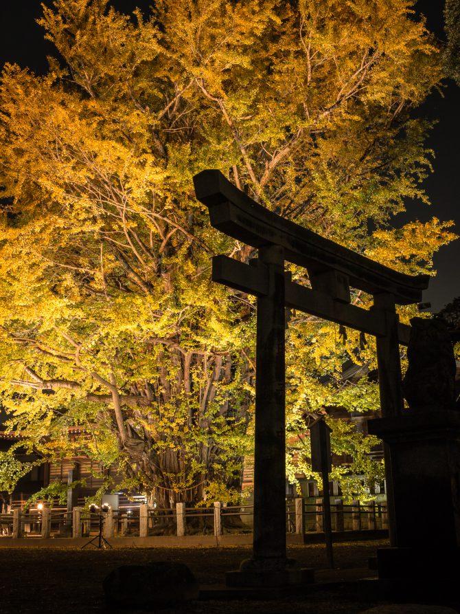 葛飾八幡宮で千本公孫樹のライトアップ 2017年11月24日(金)~26日(日)