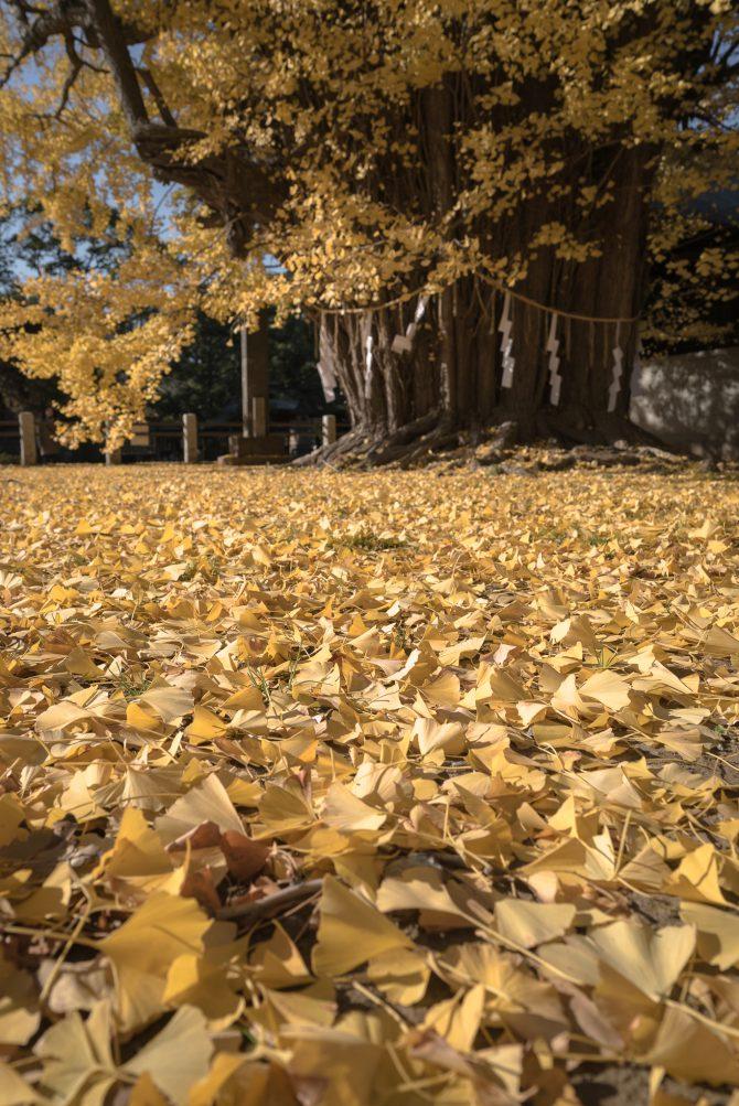 千本公孫樹の黄色い絨毯