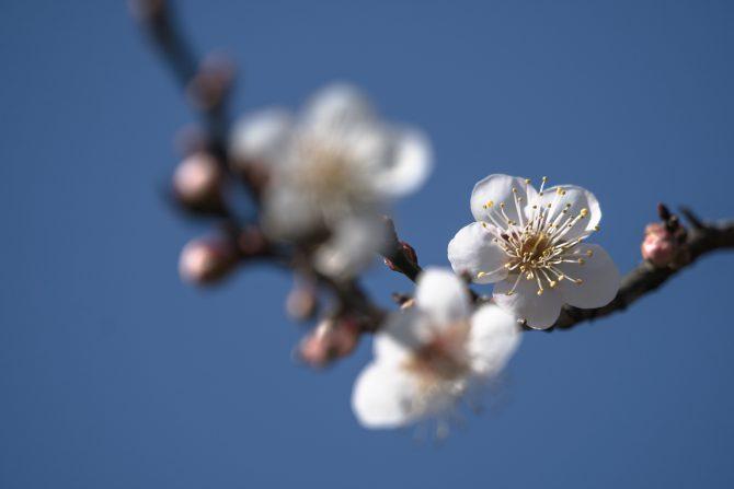 梅の花が開花 じゅん菜池緑地にて