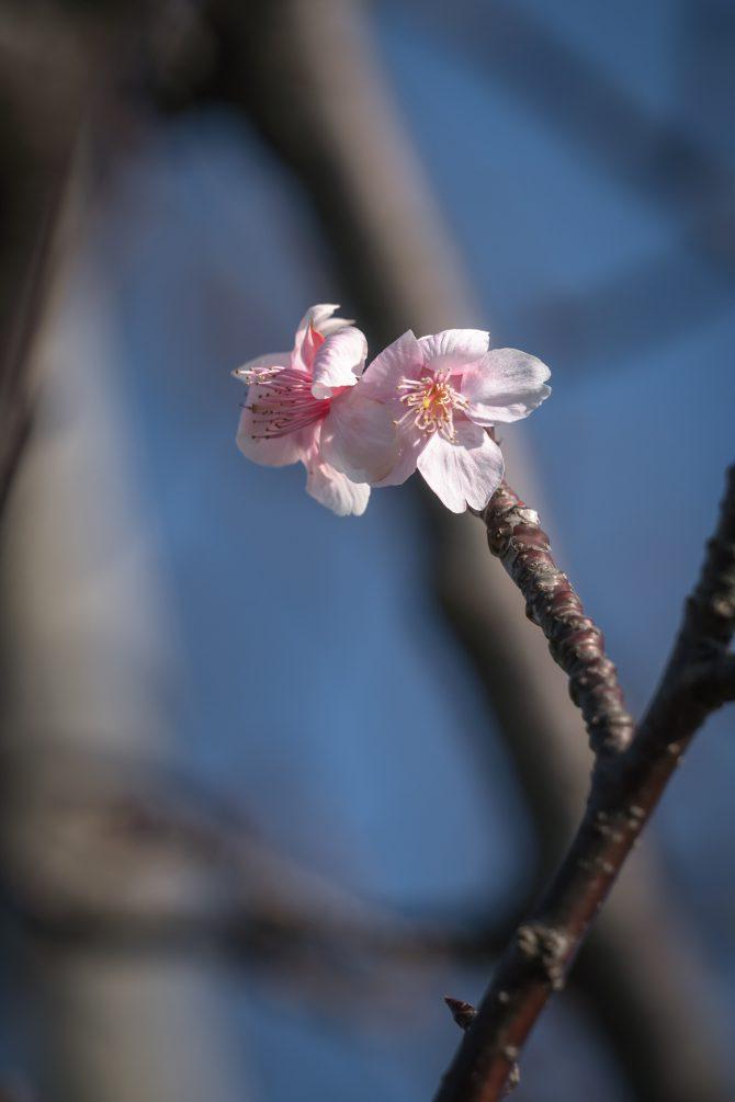 河津桜が早くも数輪、咲き始めていました