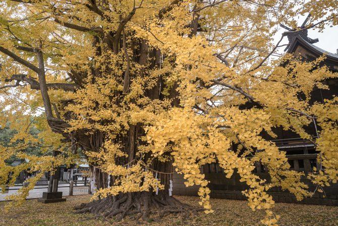 千本公孫樹の黄葉の状況 葛飾八幡宮にて