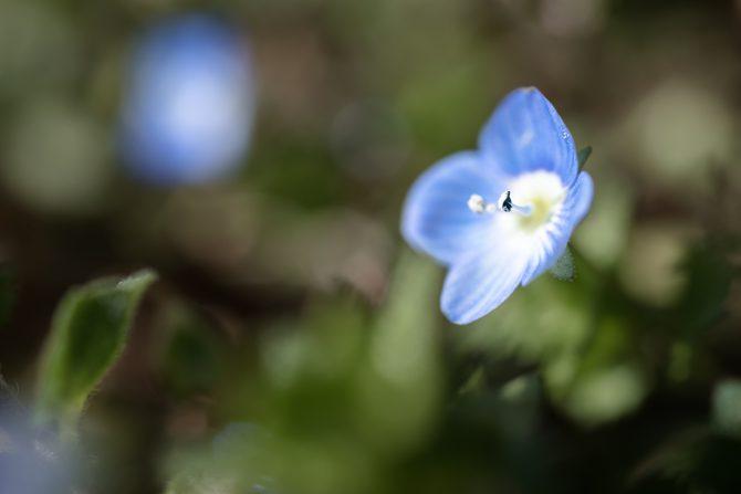 オオイヌノフグリが咲きはじめ