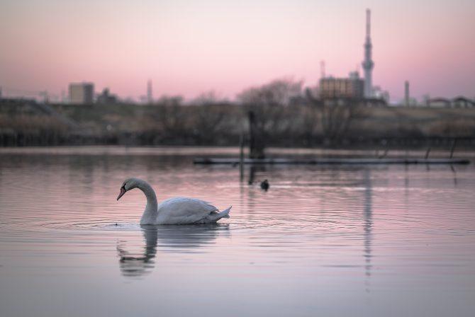 桃色の江戸川と白鳥