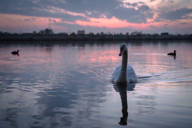白鳥と夕焼けの江戸川