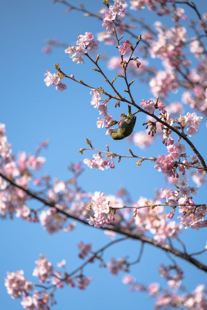 妙典(江戸川土手上)の河津桜並木の開花状況