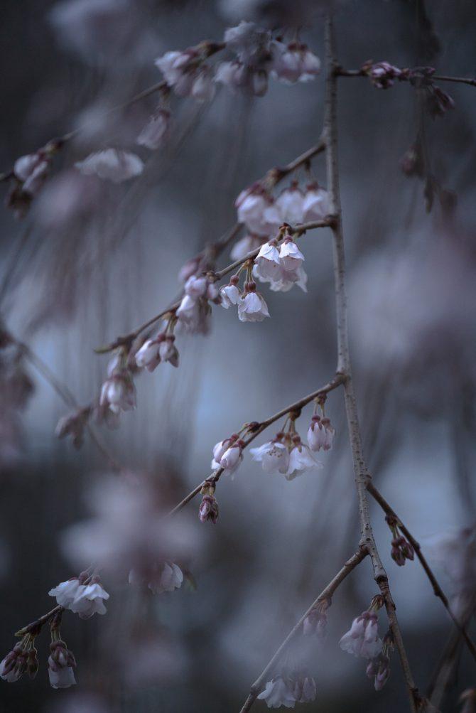 真間山弘法寺のしだれ桜「伏姫桜」が咲き始め