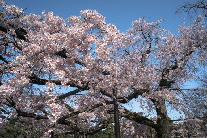 原木山妙行寺のしだれ桜